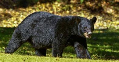 Seorang Wanita Tewas Disantap Beruang Hitam